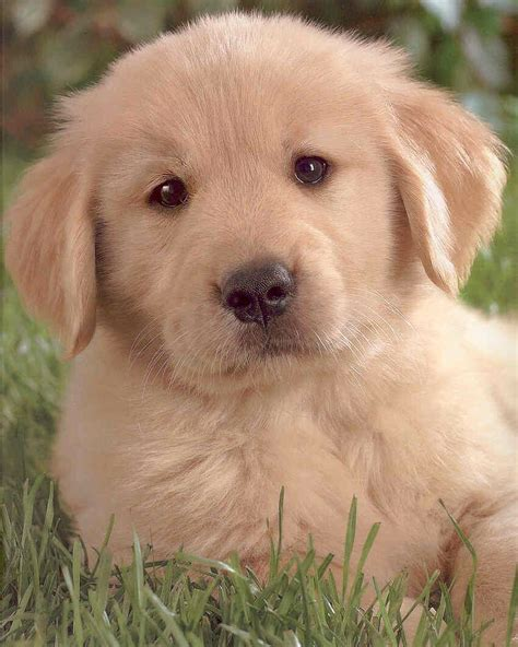 Cute Golden Retriever Puppies Playing Funny Animal