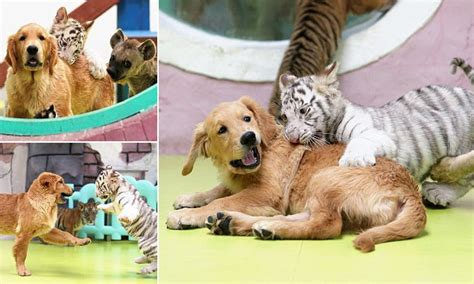 puppy love abandoned lion tiger  hyena cubs