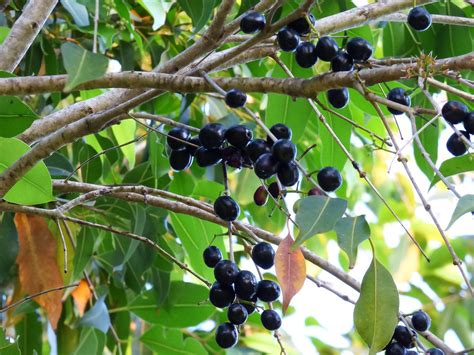 science based health benefits  jamun fruit syzygium