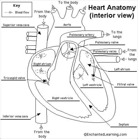 Heart Diagram No Labels