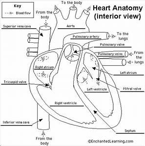 Human Anatomy Diagram. Find The Human Heart Anatomy And ...