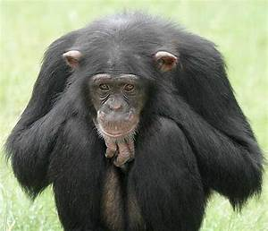 Chimpanzee   Wildlife Info and Photos-Images   The Wildlife