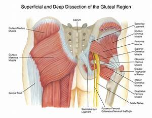 Gluteal Region Diagram On Rit Portfolios