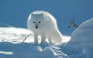 Wallpapers  Arctic Fox Wallpapers