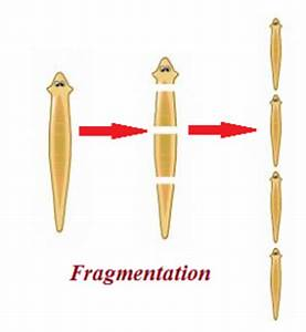 Fragmentation Asexual Reproduction | www.pixshark.com ...
