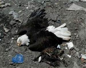Ocala Post - Bald eagles allegedly poisoned after eating ...