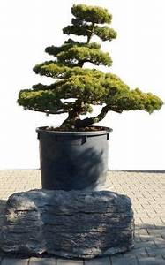 Bonsaide shop gartenbonsai taxus taxus08 for Whirlpool garten mit bonsai samen shop