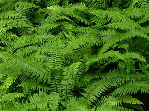 ferns species picking ferns and evergreen products for fast cash