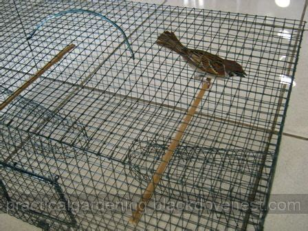 homemade bird trap build plans    trapped