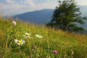 Camomile flowers on the green mountain meadow in ...