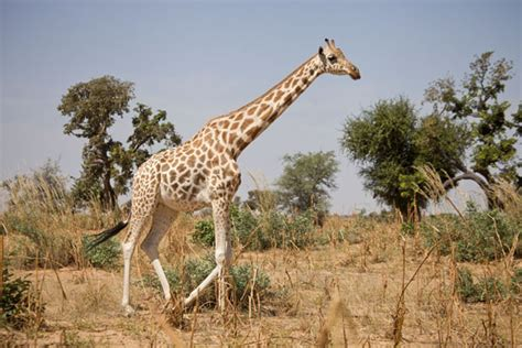 Giraffe Walking Amidst Trees