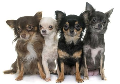 chihuahuas whats good  bad  chihuahua dogs