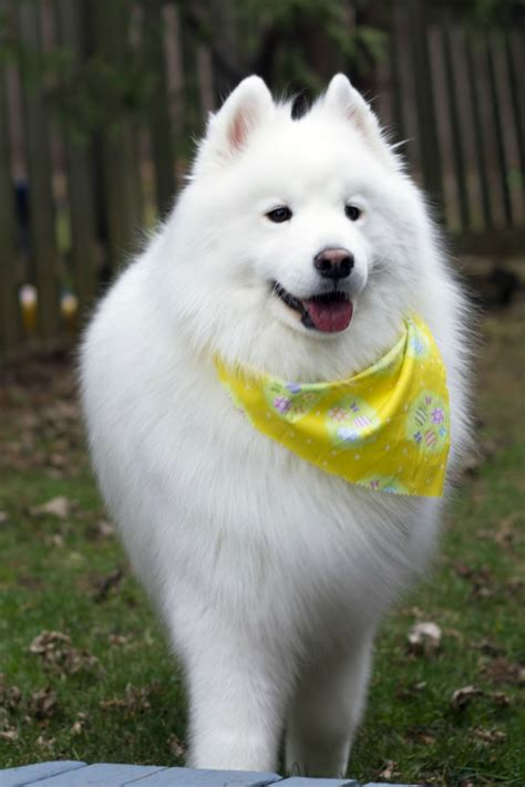 173 Best Samoyed Images On Pinterest Samoyed Puppies