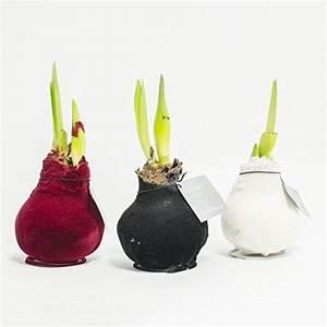 Amaryllis Zwiebeln Kaufen : rasen saatgut und andere pflanzen von interflowers gmbh online kaufen bei m bel garten ~ Frokenaadalensverden.com Haus und Dekorationen