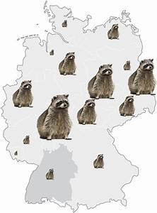 Waschbären In Deutschland : waschb ren in deutschland putzige st renfriede werden zur plage panorama stuttgarter ~ Frokenaadalensverden.com Haus und Dekorationen
