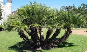 Mimosa Résistant Au Froid : palmiers r sistants au froid groupon shopping ~ Melissatoandfro.com Idées de Décoration