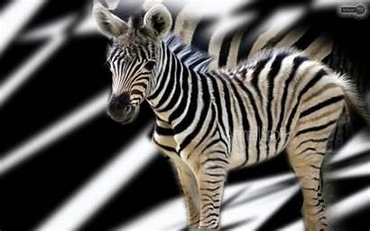 Zebra Desktop Wallpapers Backgrounds Background Zebras 4k