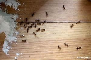 Ameisen Bekämpfen Im Garten : ameisen bek mpfen im haus in der wohnung 22 wirksame mittel plantopedia ~ Frokenaadalensverden.com Haus und Dekorationen