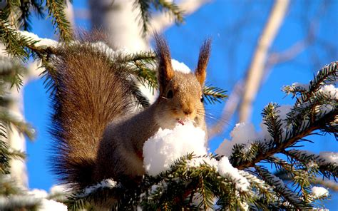 telecharger la meteo sur mon bureau gratuit fond ecran animaux ecureuil sur branche sapin