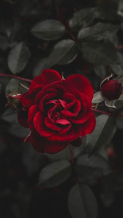 Rose Iphone Flower Background Wallpapers Bud Flowers