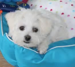 Dog Maltese Teacup Puppy