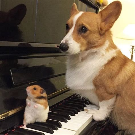 Corgi Meme - 17 best images about 14 pets animals domesticated lifeteams on pinterest funny pictures of