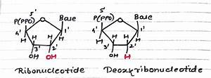 What Is The Difference Between Deoxyribonucleic Acid And Deoxyribonucleotides