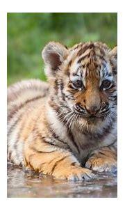 Tiger Cub Wallpapers - Wallpaper Cave