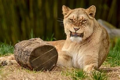 Zoo Animal Adopt Lion Zuri Maryland Role