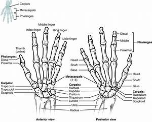 This Figure Shows The Bones In The Hand And Wrist Joints