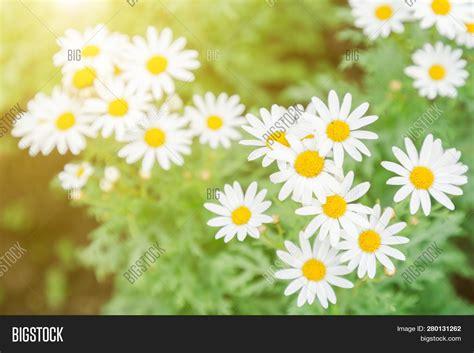 white daisy flower flower  garden  sunny summer