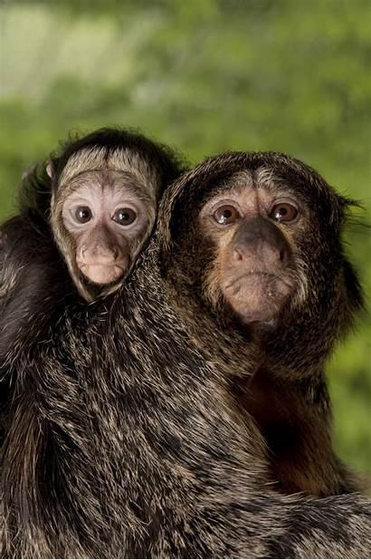 Monkey Saki Zoo Marcelo Oregon Monkeys Mother
