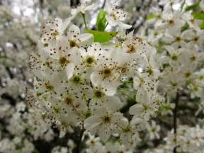 what trees white blossoms file white pear flowers macro tree west virginia forestwander jpg wikimedia commons