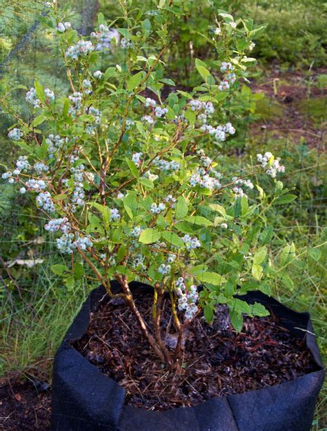 growing blueberry plants in pots growing blueberries in containers