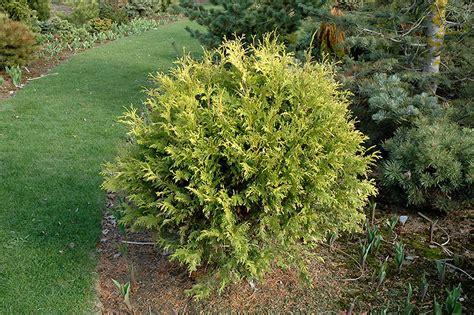 golden globe arborvitae thuja occidentalis golden globe