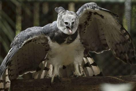Fotografije najvećeg i najmoćnijeg orla prava senzacija