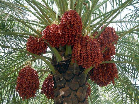 All We Need To Know About Dates Palm Fruits Beabeeinc