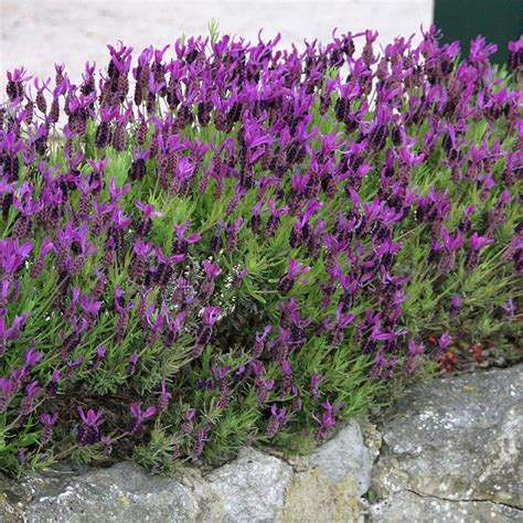 lavender plants buy lavender stoechas 9cm pot 1 plant buy online order yours now