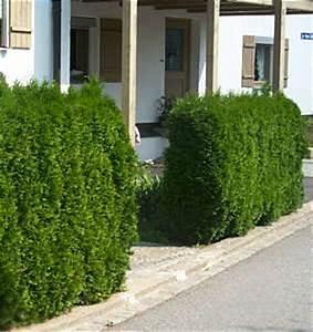 Thuja Hecke Düngen : thuja lebensbaum ~ Lizthompson.info Haus und Dekorationen