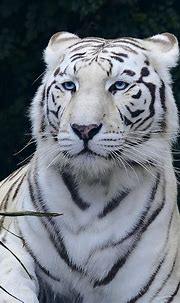 Blue Eyed White Bengal Tiger Photograph by Daniel Hagerman