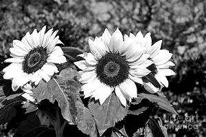 Sunflowers In Black And White Photograph by Kaye Menner