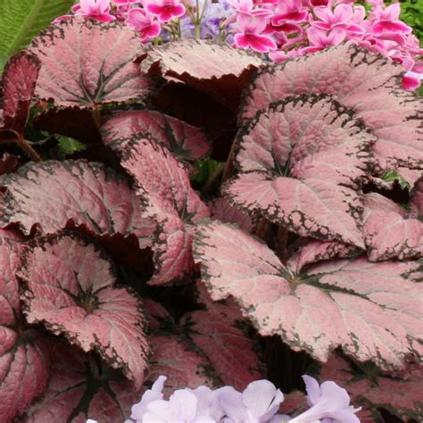 begonia plant begonia plant pink chagne all flower plants flower plants flowers garden dobies