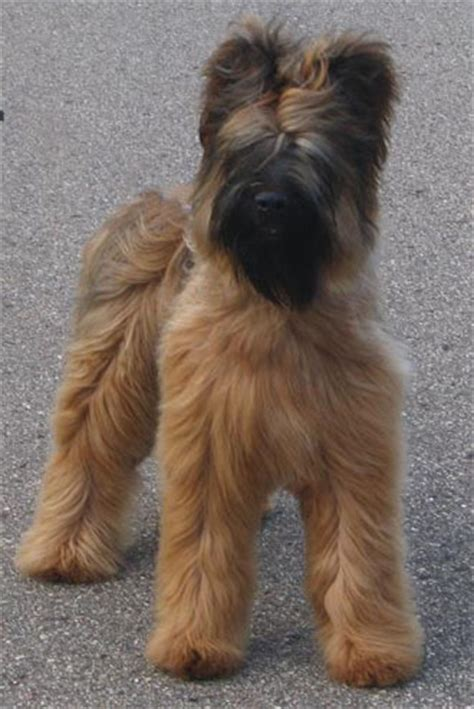 No Shedding Dog Breed by Briard Dog Info Temperament Care Training Puppies