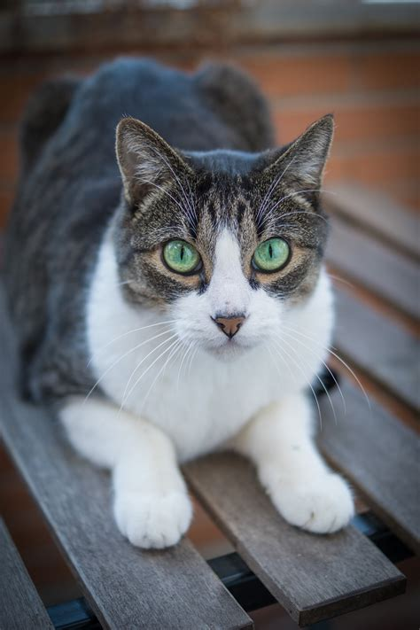 managing hyperthyroidism  diet  cats clinical