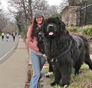 a massive newfoundland dogs pinterest beautiful