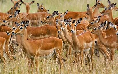Herd Impala Female Masai Kenya Mara 1680