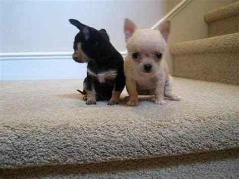 teacup chihuahua puppies  sale youtube