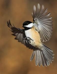 Chickadee in Flight | Peter Curcis | Flickr