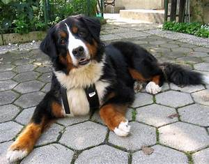 Mountain Dogs | 101DogBreeds