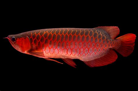 asian fish meet the world s most expensive pet fish